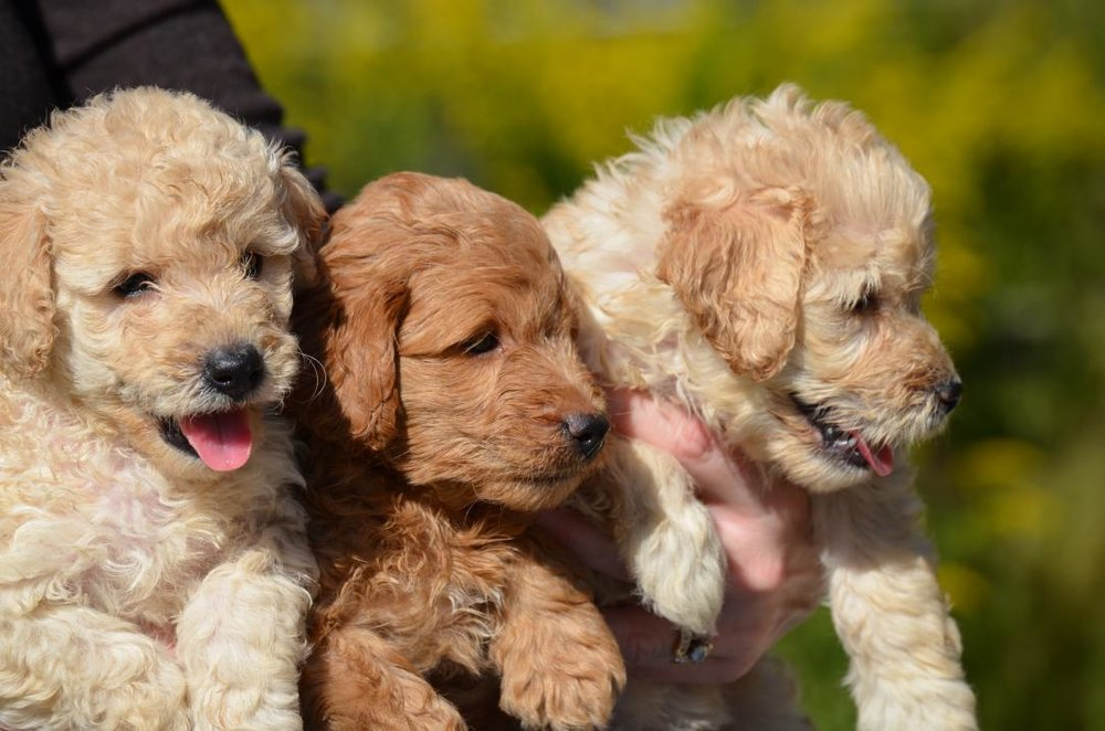 best-mini-Goldendoodles+(10).jpeg