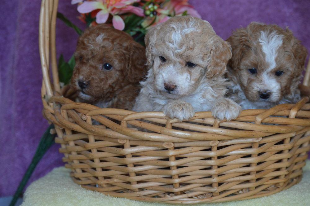 cavapoo-puppies