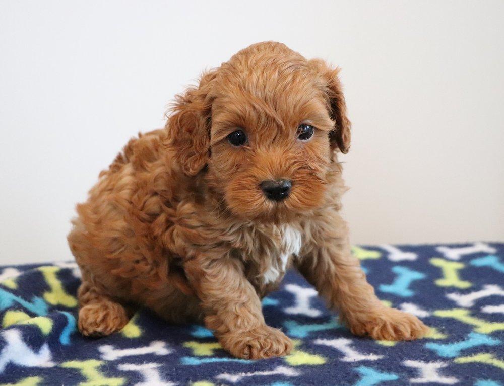 Cockapoo puppy - Buster (1).jpg