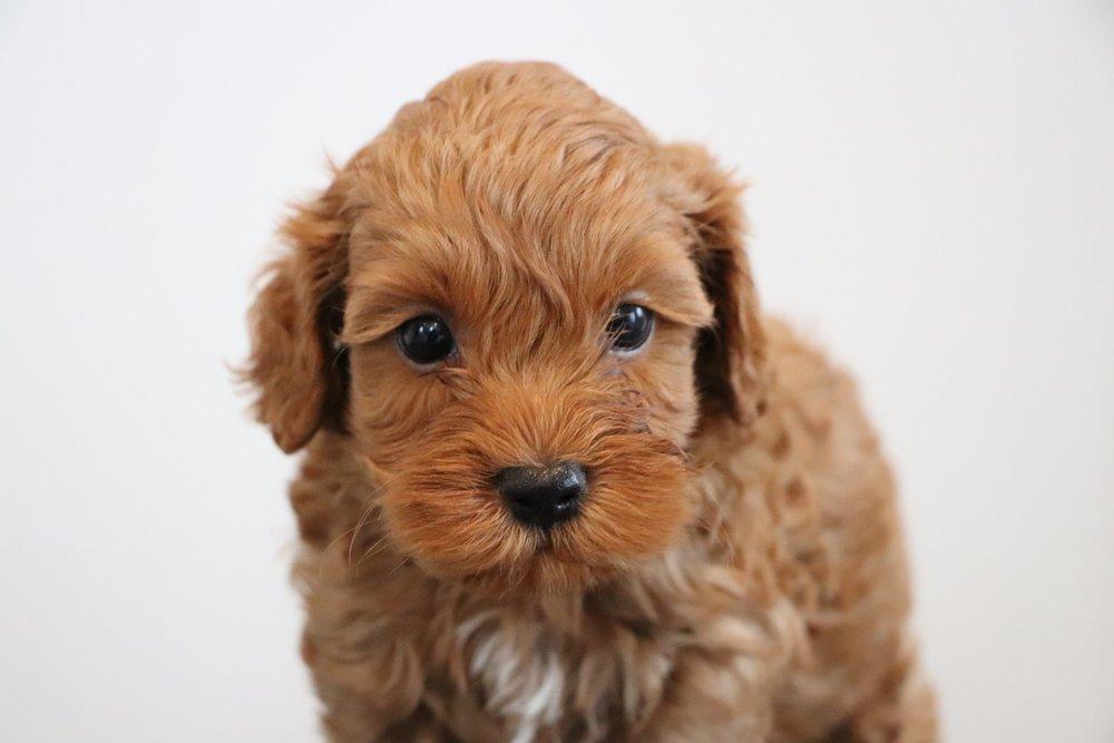 Cockapoo puppy - Buster (4).jpg
