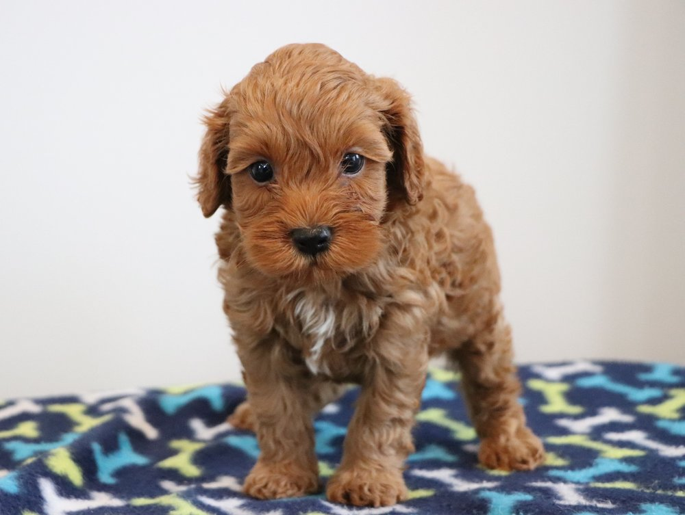 Cockapoo puppy - Buster (3).jpg