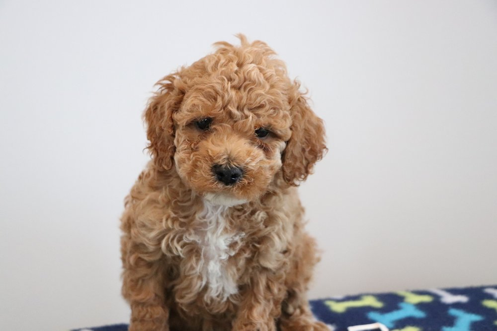 Red Cockapoo puppy - Bart (4).jpg