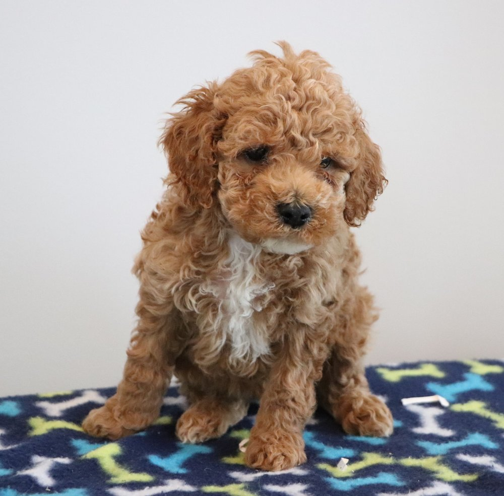 Red Cockapoo puppy - Bart (3).jpg