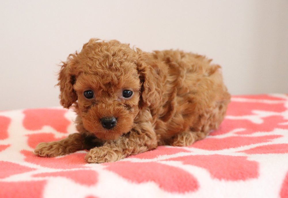 Cute Cockapoo.jpg