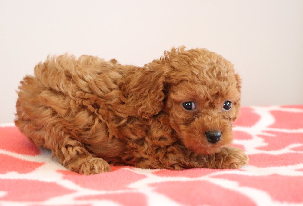 Cute Cockapoo3.jpg