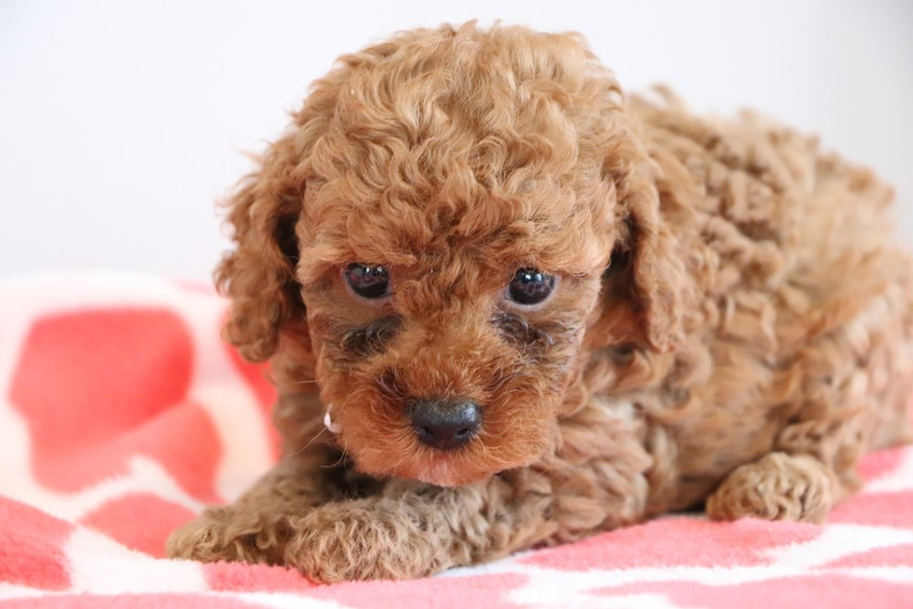 Cute cockapoo 5.jpg