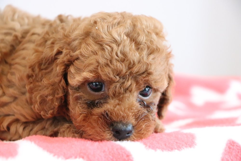 Cute cockapoo 7.jpg