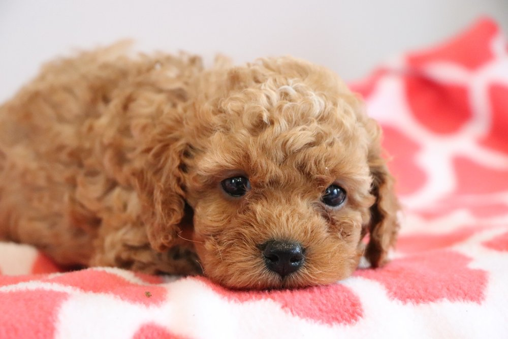 Cute cockapoo 12.jpg