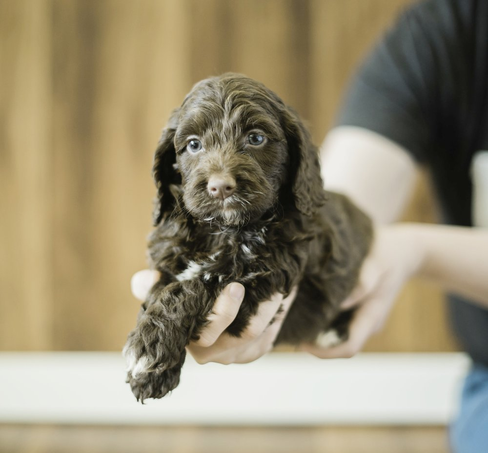 Cute Cockapoo 3.jpg