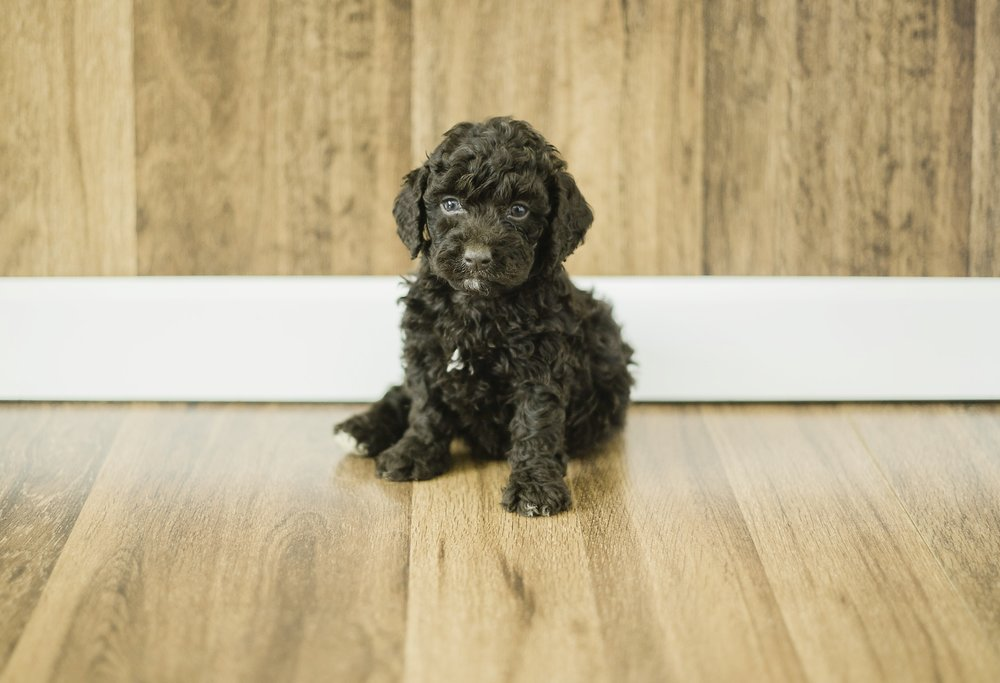 Cute Cockapoo 2.jpg