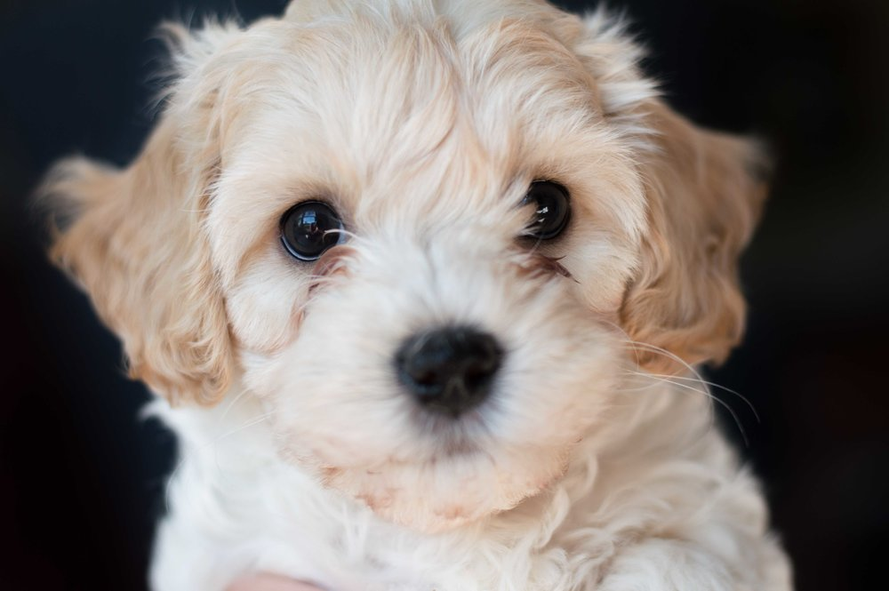 Bailey - female Cockapoo (2).jpg