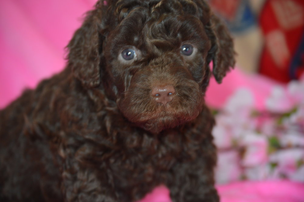 Molly - female mini Chocolate Labradoodle.JPG