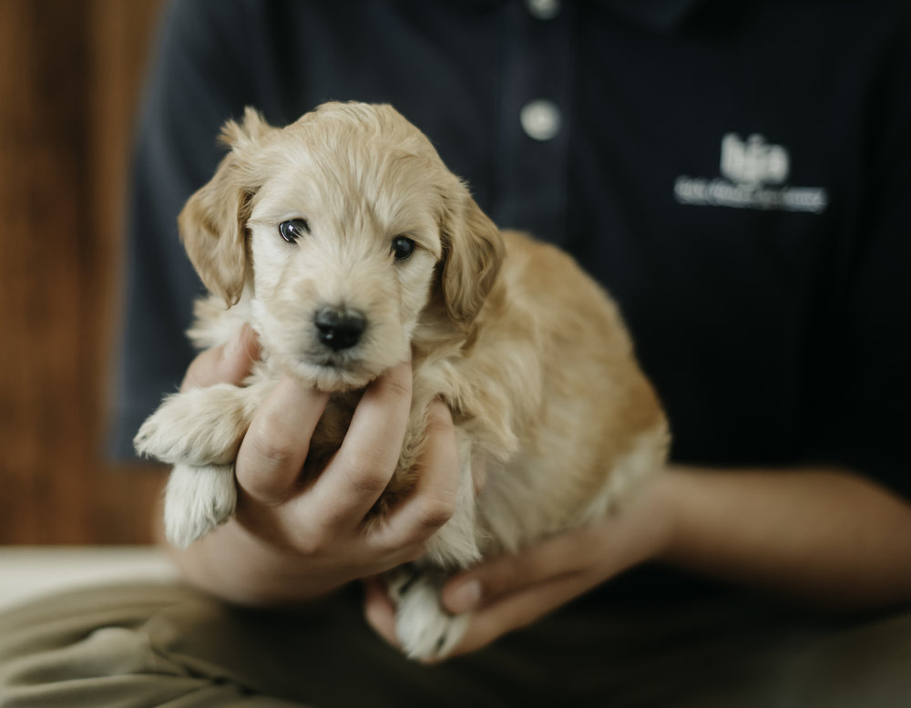 April - Sweet Goldendoodle.jpg