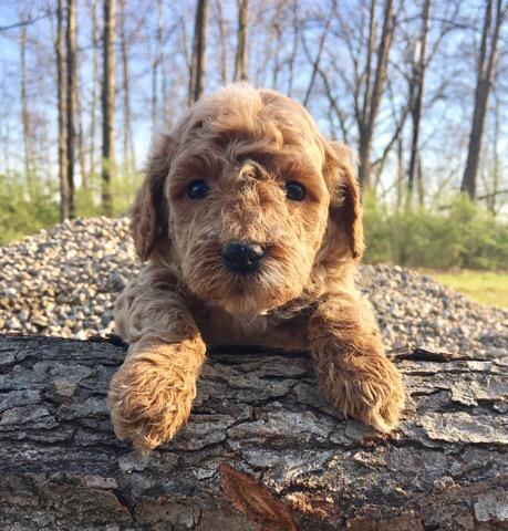 cute mini goldendoodle (2).jpg