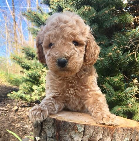 Kinsley cute mini goldendoodle.jpg