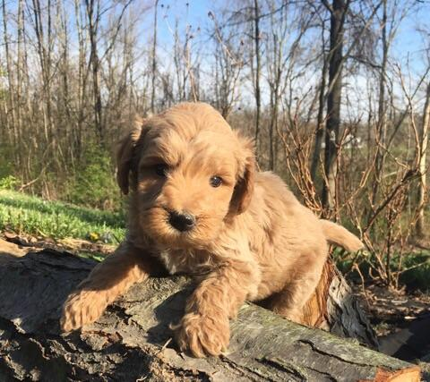Koda cute mini goldendoodle.jpg