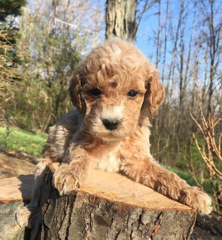cute mini goldendoodle (6).jpg