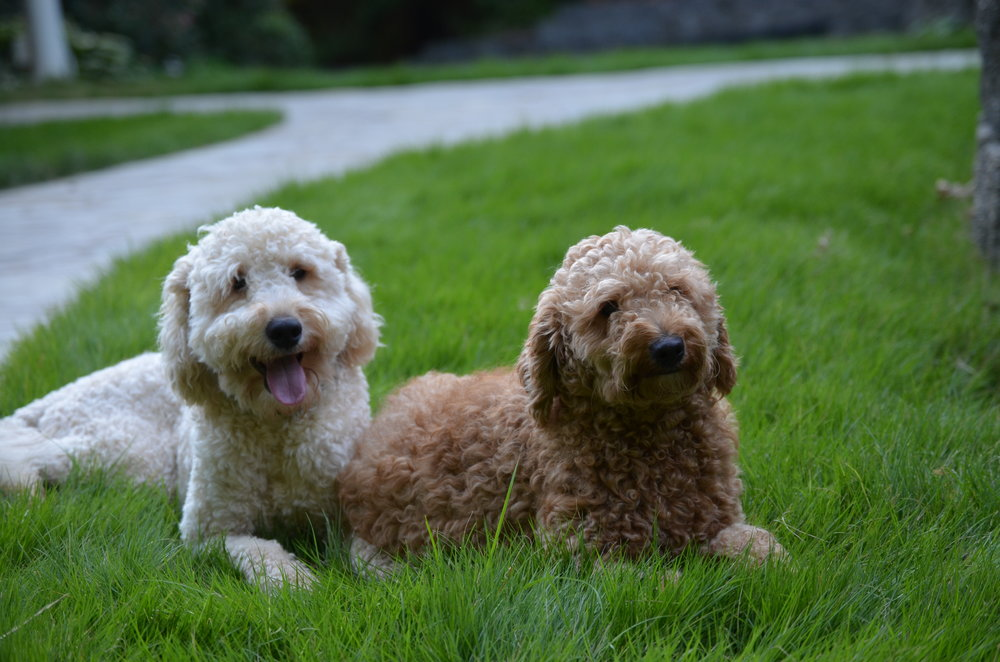 Tucker (English cream f1b petite Goldendoodle dad) and Millie (apricot f1b petite Goldendoodle mom)