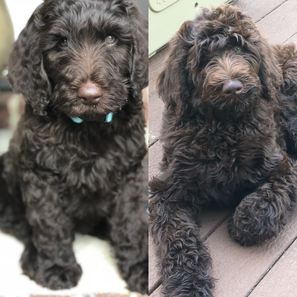 labradoodle-puppy-adult