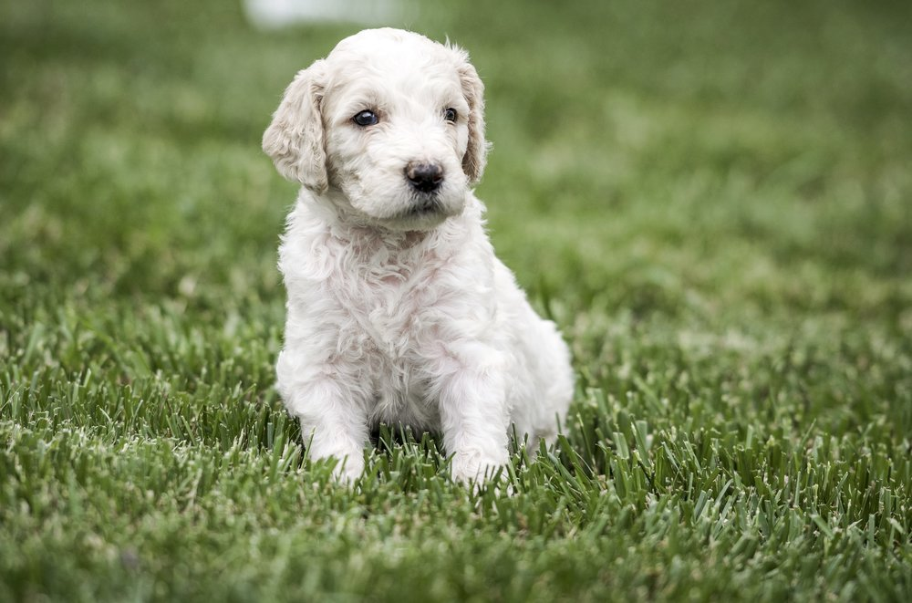 Dove beautiful tri-color goldendoodle (2).jpg