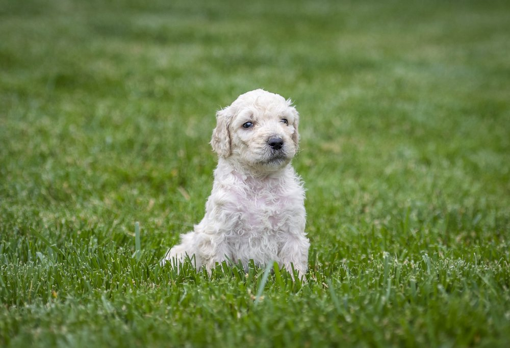 Jay beautiful tri-color goldendoodle (1).jpg