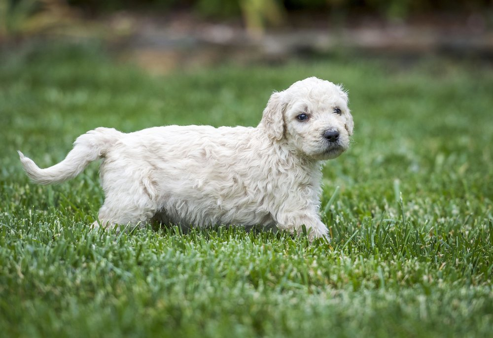Jay beautiful tri-color goldendoodle (2).jpg