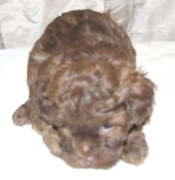 Cute cockapoo number 3.jpg