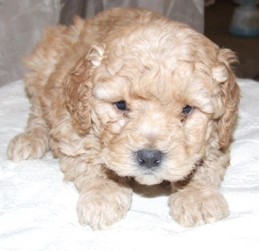 cute cockapoo number 5.jpg