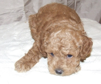 cute cockapoo number 6.jpg