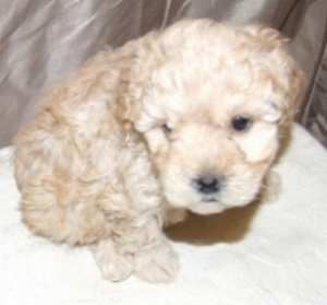 cute cockapoo number 1.jpg