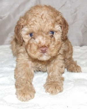 cute cockapoo number 2.jpg