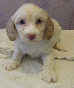 cute goldendoodle cream female 2.jpg
