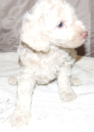 cute goldendoodle white female.jpg