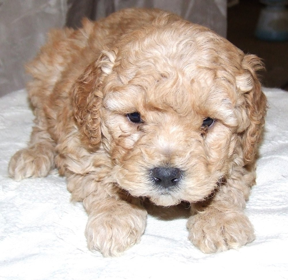 patch-cute-cockapoo.jpg