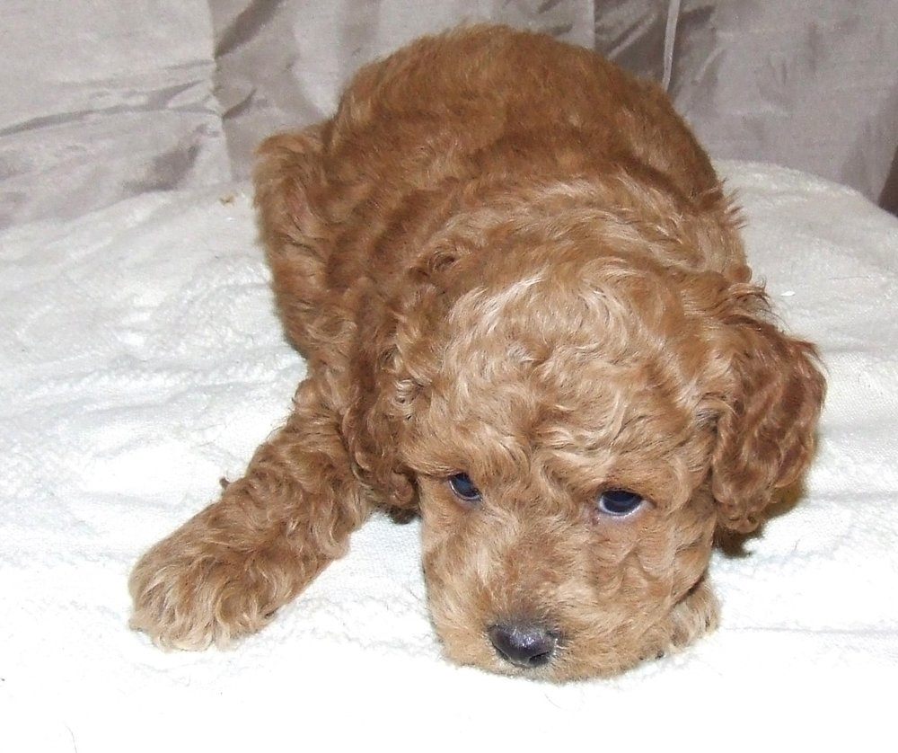 petey-cute-cockapoo-min.jpg