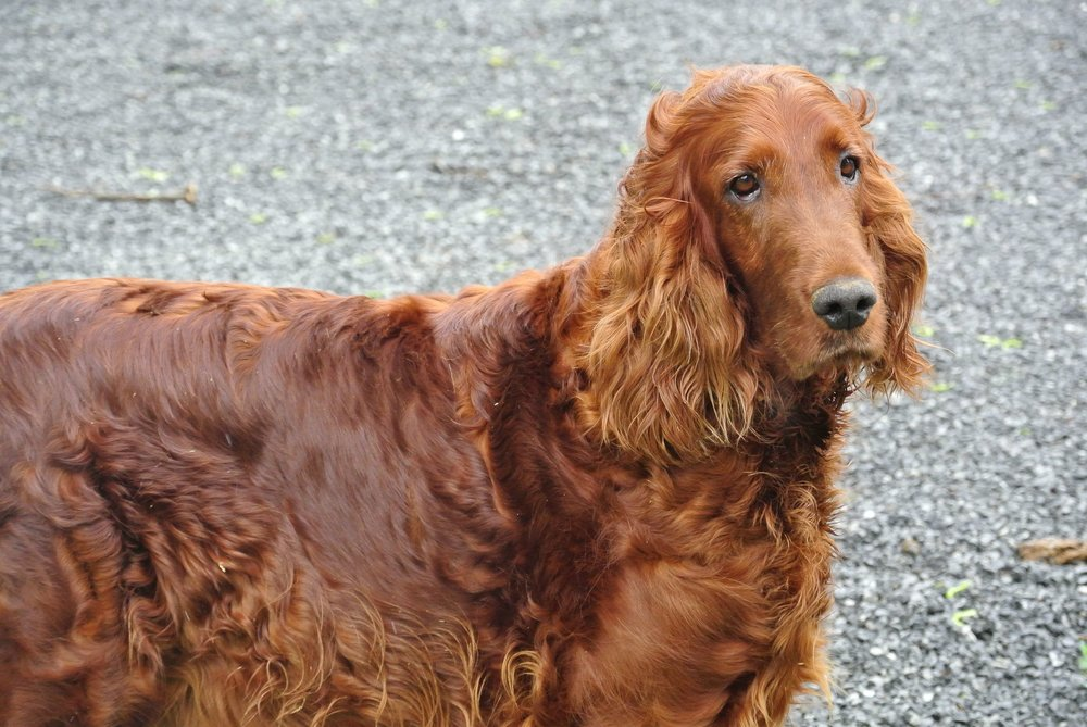 Liz, the Irish Setter mom
