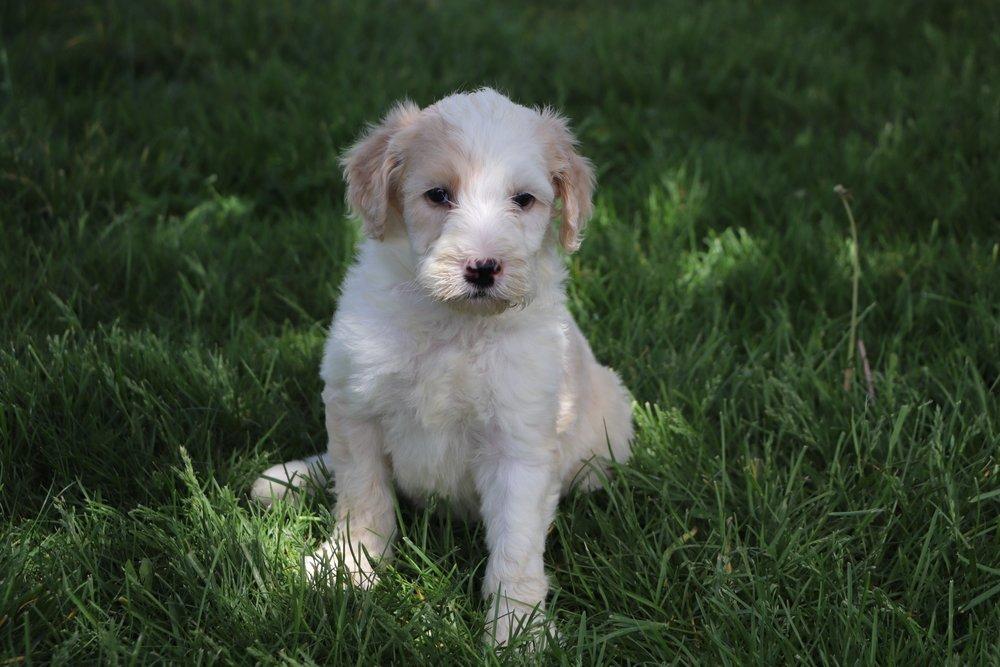 Lana Adorable Sheepadoodle Puppy (4).jpg