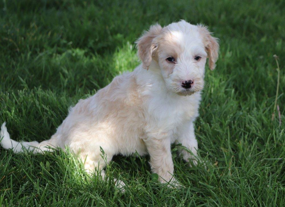 Lana Adorable Sheepadoodle Puppy (3).jpg