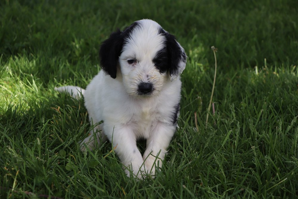 Leia Adorbale Sheepadoodle Puppy (5).jpg