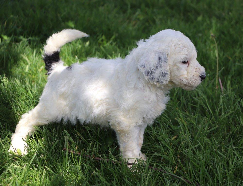 Lexi Adorable Sheepadoodle Puppy (1).jpg