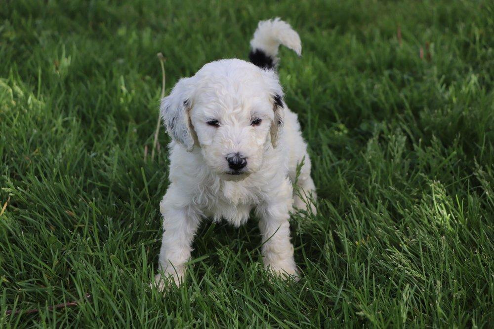 Lexi Adorable Sheepadoodle Puppy (2).jpg