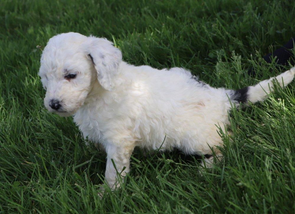 Lexi Adorable Sheepadoodle Puppy (3).jpg