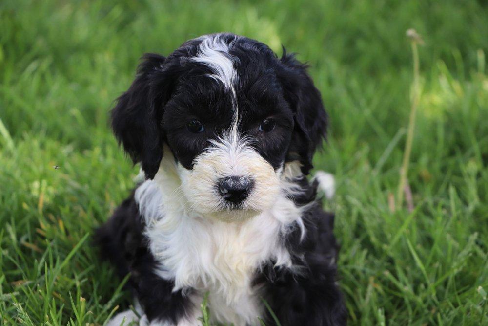 Lola Adorable Sheepadoodle Puppy (6).jpg