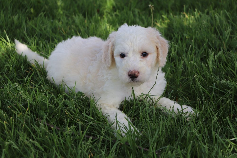 Lily Adorable Sheepadoodle Puppy (9).jpg