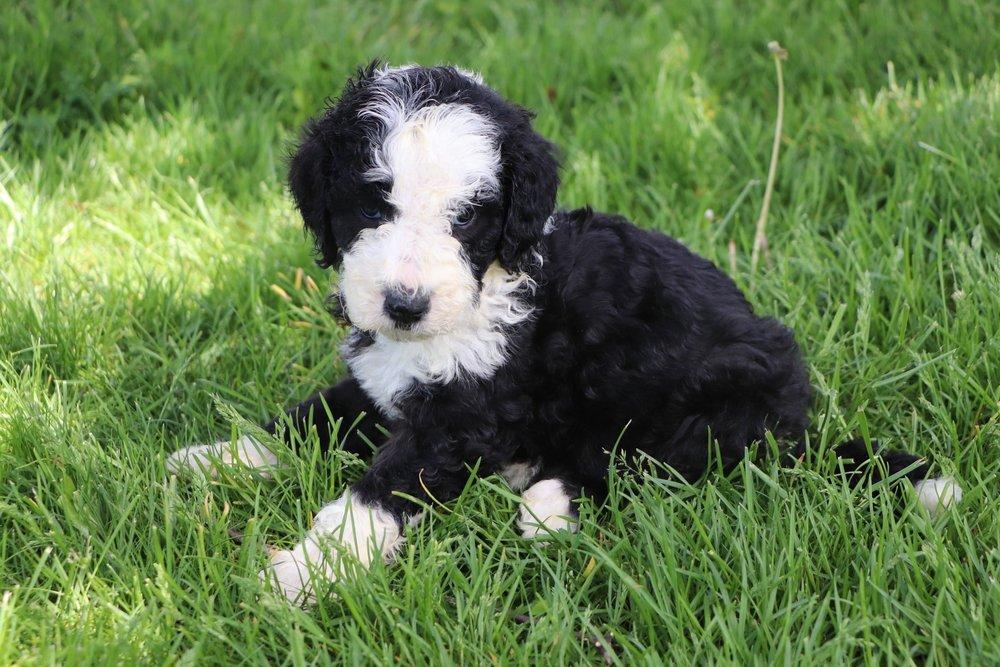 Leo Adorable Sheepadoodle Boy Puppy (6).jpg