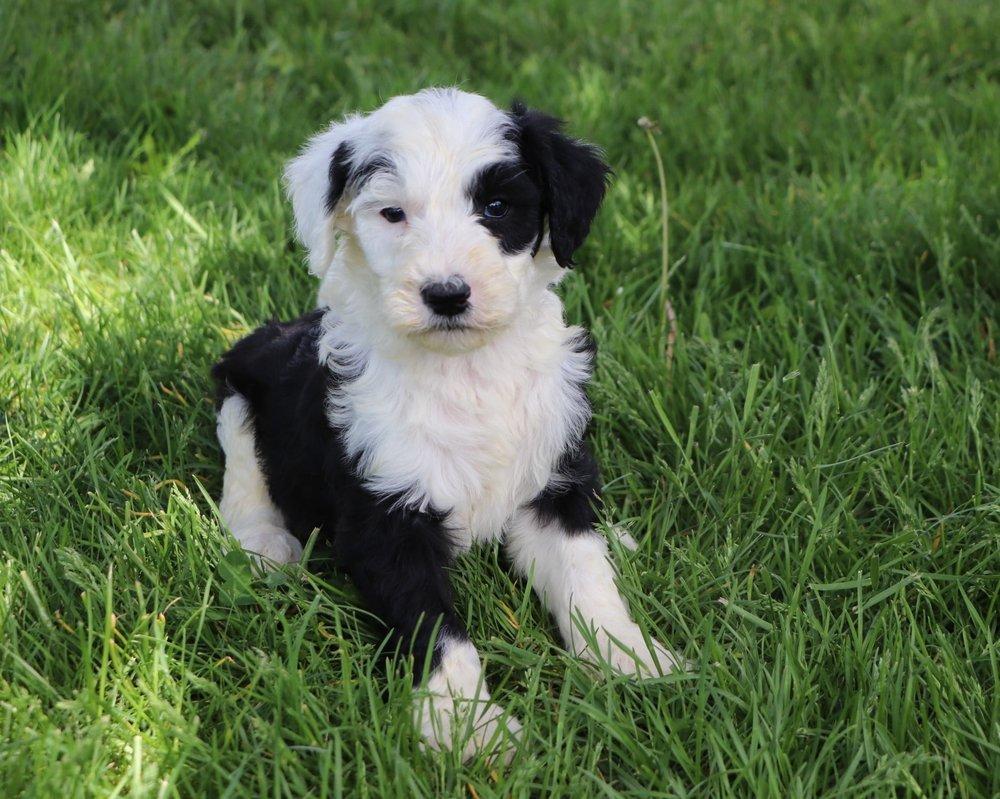 Luke Adorable Sheepadoodle Boy Puppy (4).jpg