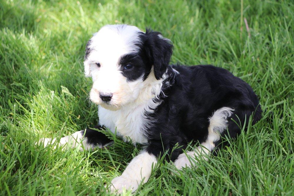 Luke Adorable Sheepadoodle Boy Puppy (1).jpg
