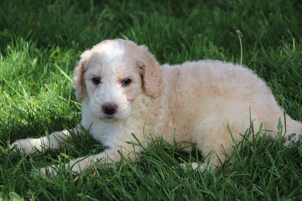 Liam Adorable Sheepadoodle Boy Puppy (3).jpg