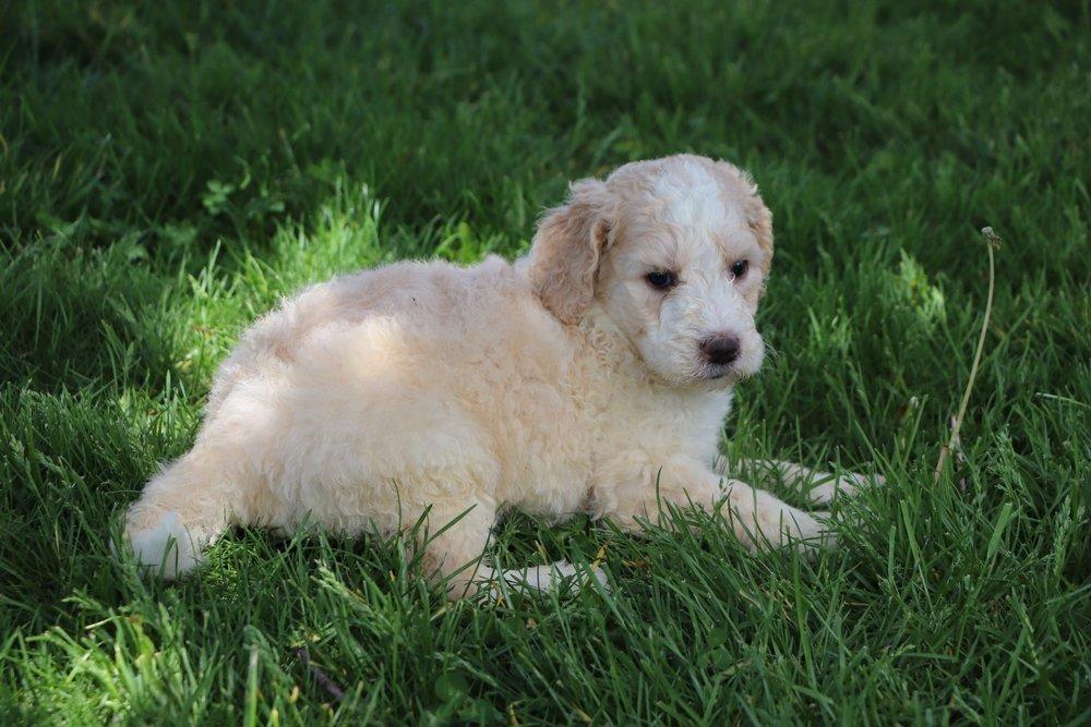 Liam Adorable Sheepadoodle Boy Puppy (4).jpg