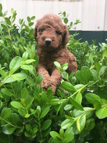 mario-mini-goldendoodle